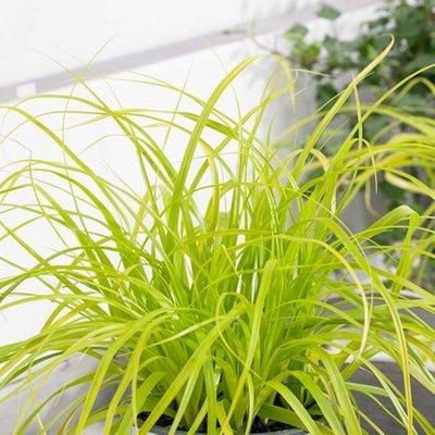 Carex oshimensis Everillo (PBR) (EverColor Series)
