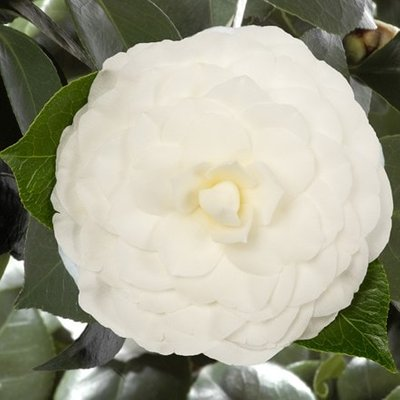 Camellia japonica Nuccio