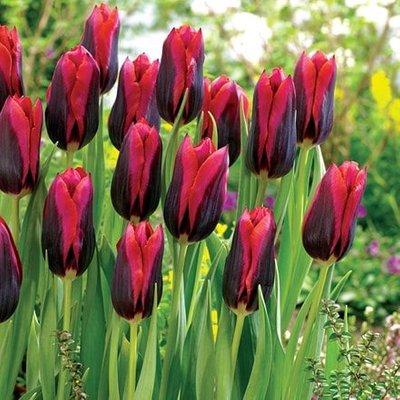 Tulipa Slawa (PBR)
