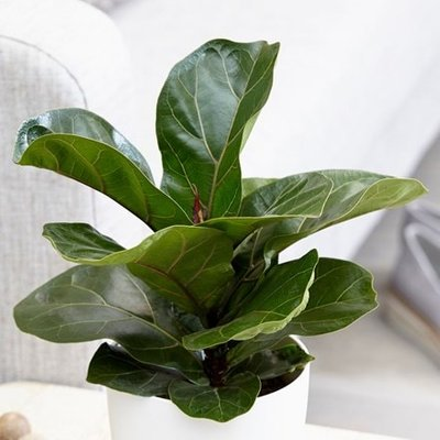 Ficus lyrata Bambino (PBR)