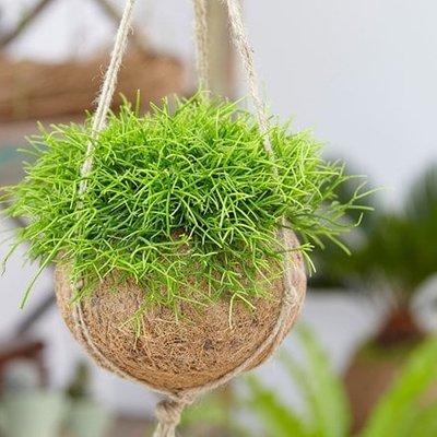 Kokodama: Rhipsalis baccifera
