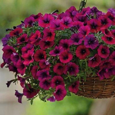 Petunia multiflora Shock Wave Deep Purple
