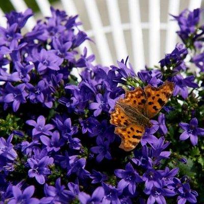 Campanula portenschlagiana Ambella Intens Purple (