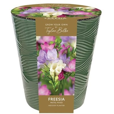 Freesia pastel mixed in a pot