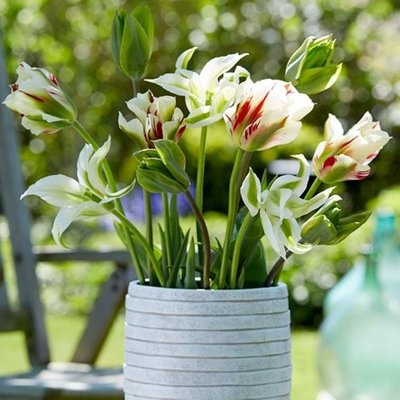 Lime Zinger tulip collection