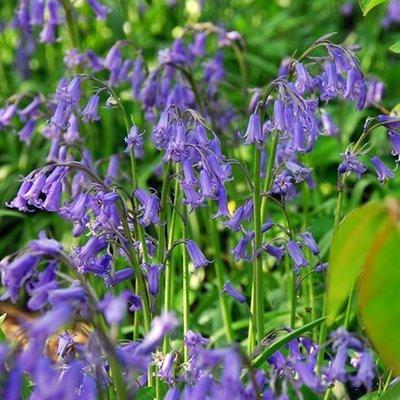Hyacinthoides non-scripta - XL Landscaping pack