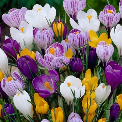 Crocus Mixed Colours - XL Landscaping pack