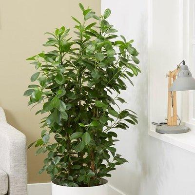 Ficus microcarpa Moclame (PBR)