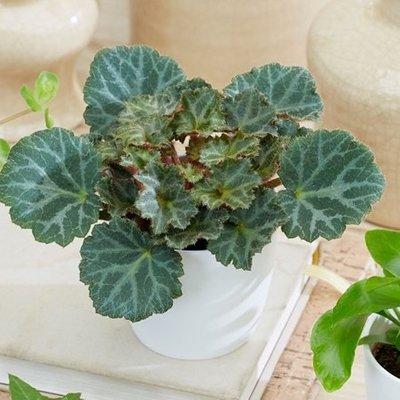 Saxifraga Bottle garden / terrarium plant