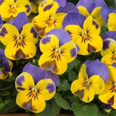 Viola Sorbet F1 Yellow Blue Jump Up (Sorbet Series)