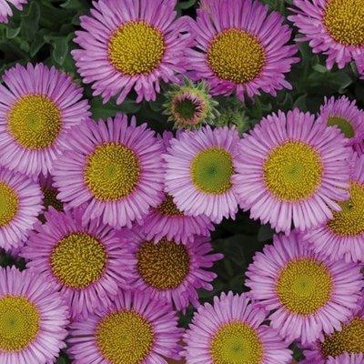 Erigeron glaucus Sea Breeze pink-flowered