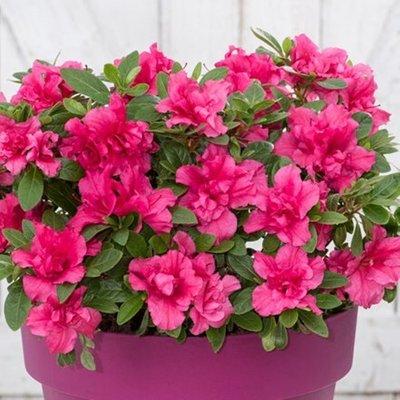 Rhododendron BloomChampion Purple (PBR)