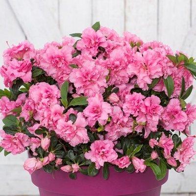 Rhododendron BloomChampion Pink (PBR)