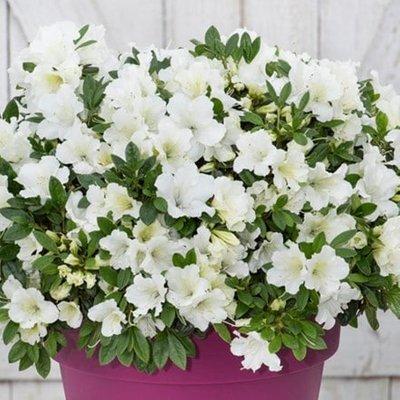 Rhododendron BloomChampion White (PBR)