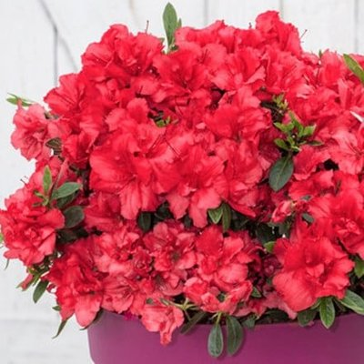 Rhododendron BloomChampion Red (