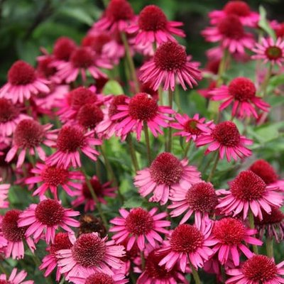 Echinacea Delicious Candy (