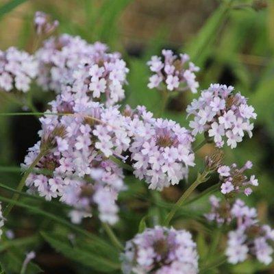 Verbena rigida f. lilacina