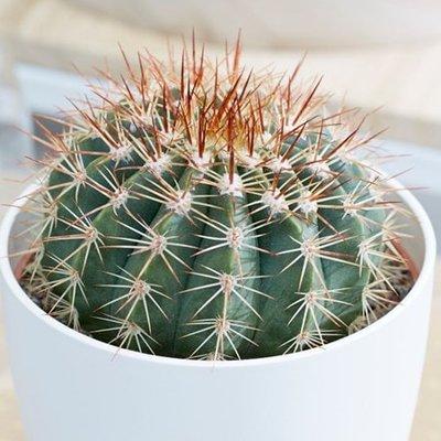 Melocactus broadwayi