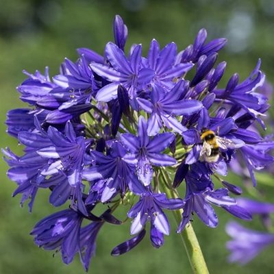 Agapanthus Midnight Madness