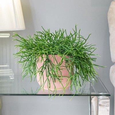 Rhipsalis pulchra