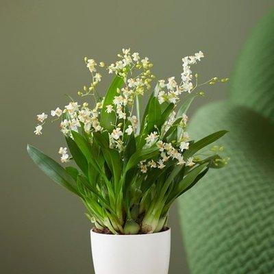Oncidium Twinkle Jasmine