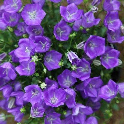 Campanula carpatica Blaue Clips