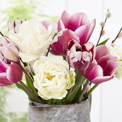 Raspberry diva tulip collection