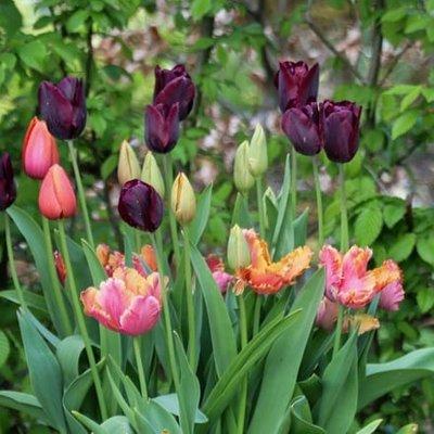 Radicchio tulip collection