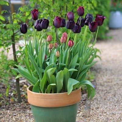 Dark mystery tulip collection