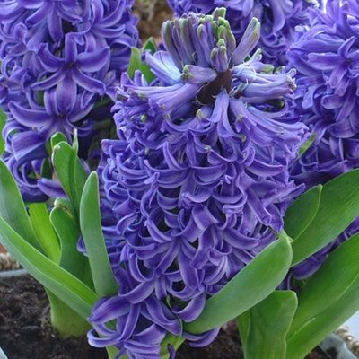 Hyacinthus orientalis Blue Pearl - potted bulbs