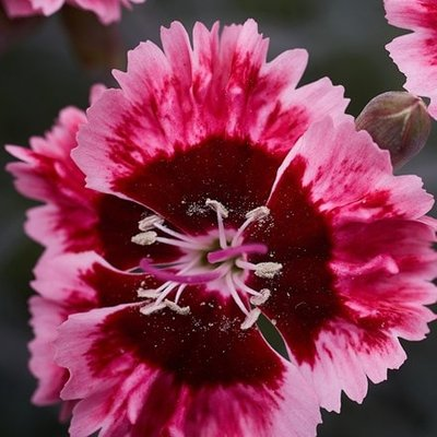Dianthus Cherry Burst (