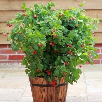 raspberry Ruby Beauty (