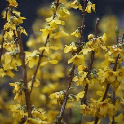 Forsythia intermedia Goldrausch