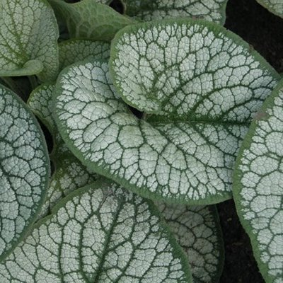 Brunnera macrophylla Sea Heart (PBR)