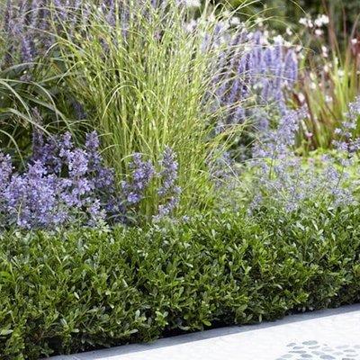 Ilex crenata Luxus Hedge (