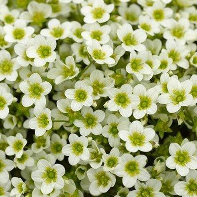 Saxifraga Alpino Early Lime (