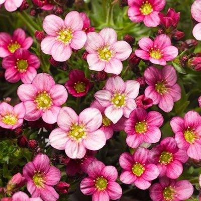 Saxifraga Alpino Pink (