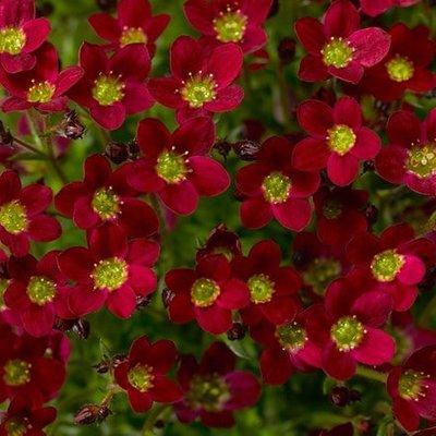 Saxifraga Alpino Red