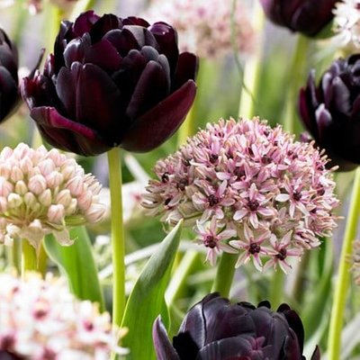 Tulip Black Hero and Allium Silver Spring