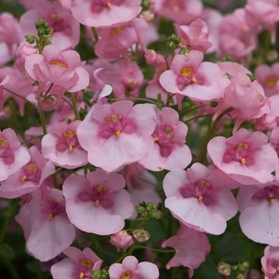 Diascia Diamond Light Pink