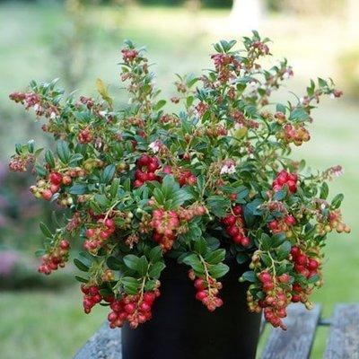Vaccinium vitis-idaea Fireballs (