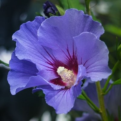 Hibiscus syriacus Marina