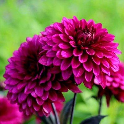 Dahlia Purple Flame (PBR)