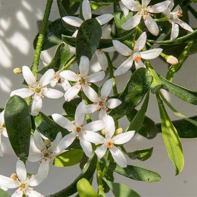 Eriostemon Flower Girl White