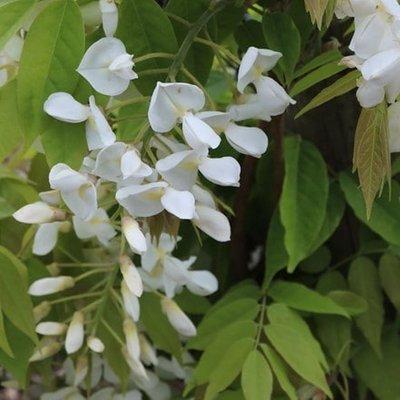 Wisteria brachybotrys f. albiflora