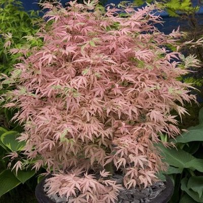 Acer palmatum Taylor (PBR)