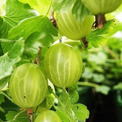 gooseberry Hinnonm�ki Gr�n