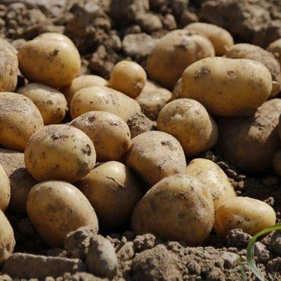 potato Winston (PBR)