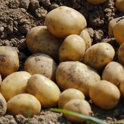 potato Nicola
