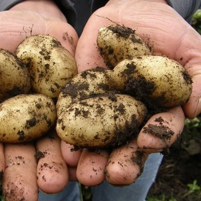 potato Wilja